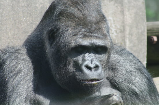 Blackpool Zoo: Gorilla