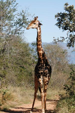 Tzaneen, South Africa: Young Giraffe