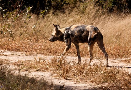 Shiduli Private Game Lodge: African Wild Dog