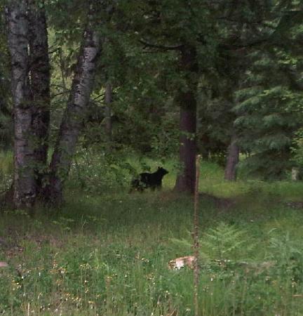 Alpenrose Bed and Breakfast: Black Bear in June in the neighborhood