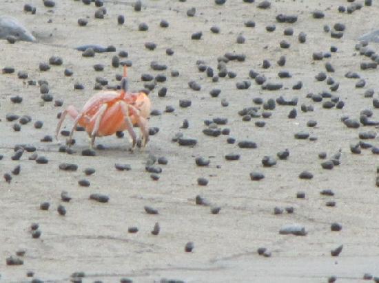 Jardín Botánico del Pacifico: Crabs