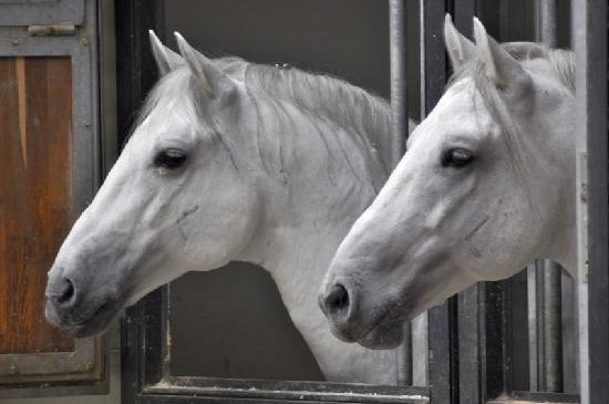 Spanish Riding School: Lipizanners in their Stables