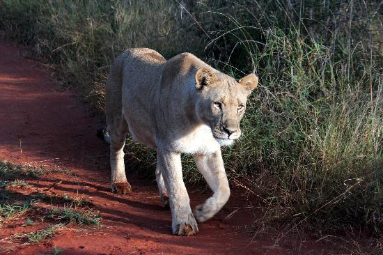 Sanctuary Makanyane Safari Lodge: Lioness passing by