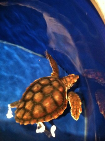 Kure Beach, NC: baby sea turtle rescue
