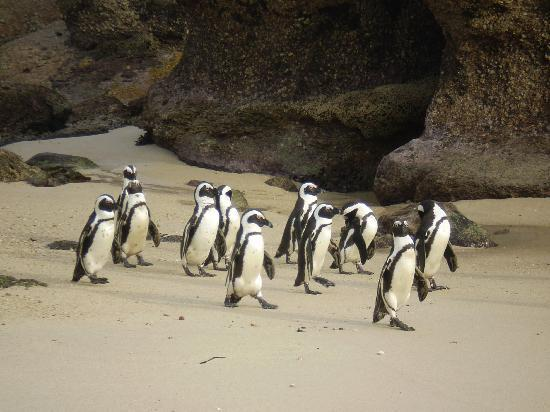 Boulders Beach: pinguini