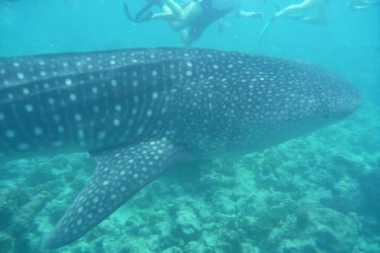 Vilamendhoo Island Resort & Spa: Whale Shark