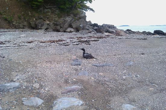 Oakland Seashore Motel & Cabins: Loon on the beach that we rescued while there
