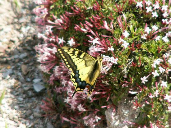 Berchules, Spanien: Mediterranean Swallowtail