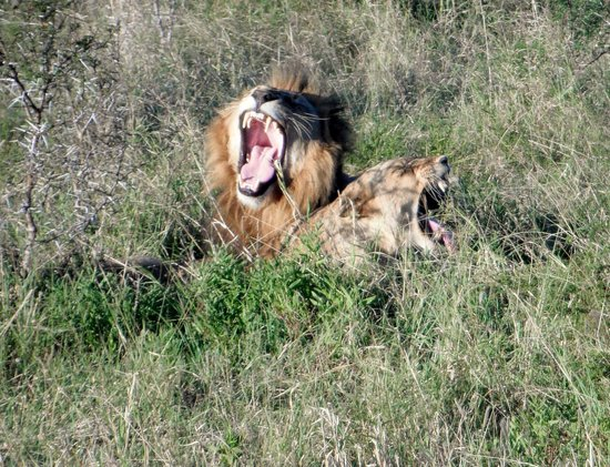 andBeyond Ngala Safari Lodge: Lions getting ready to mate!