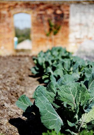 The Pig: Green Cabbage from our walled Garden