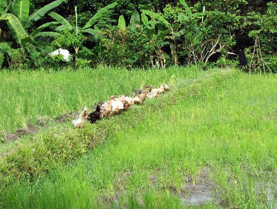 Pramesti Bungalows: Hotel's Rice Paddy Ducks