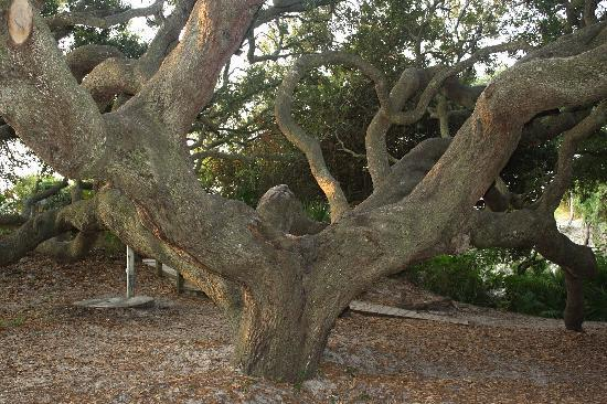 Cumberland Island National Seashore: Live Oak Tree