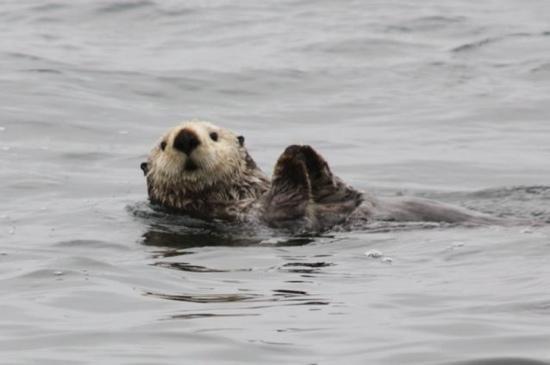 e97a31c83 sea otter swimming in Sitka Sound - Picture of Gallant Adventures ...
