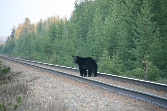 Baker Creek Mountain Resort: Black Bear on Train Tracks