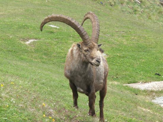 Gran Paradiso National Park, Italie : huge male ibex outside 'Vittorio Sella' hut, above Cogne
