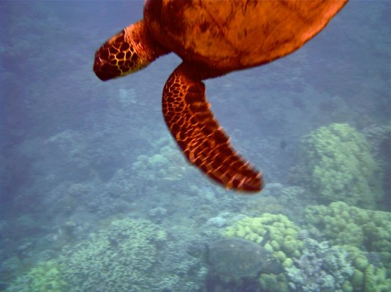 The Ocean Project On Maui: another turtle