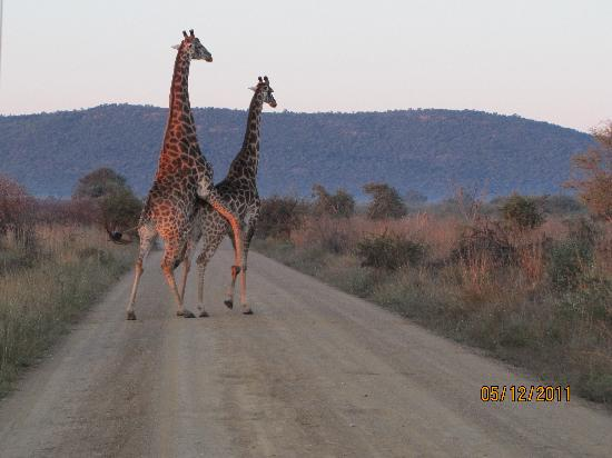 Mateya Safari Lodge: Giraffes mate in about 1.5 seconds