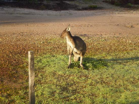 Boranup Forest Retreat: Kangaroo outside the cabin