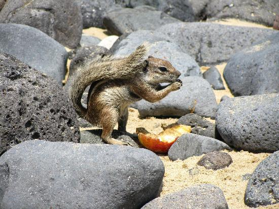 Fuerteventura Princess: Ground Squirrels on the beach