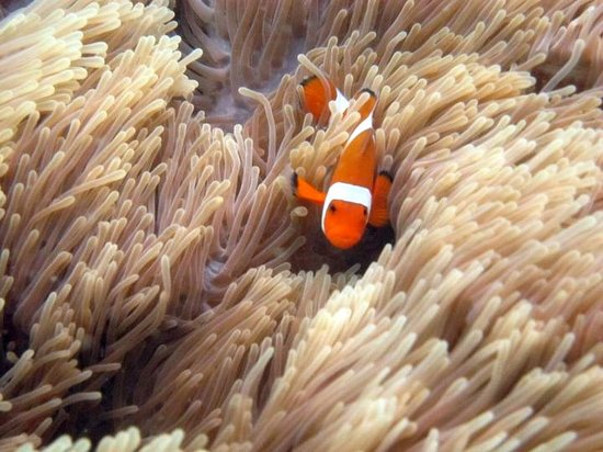 Dive South East Asia: Clownfish