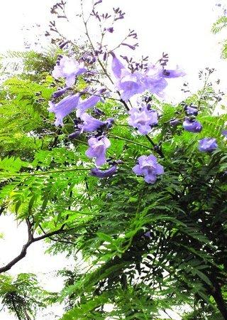 Unzen, Jepang: 世界三大花木ジャガランタ