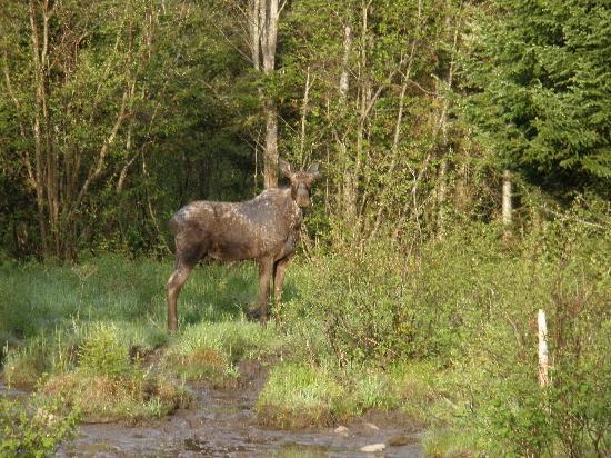 Errol Motel: small moose in the field
