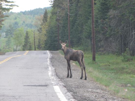 Errol Motel: Watch for moose in the road