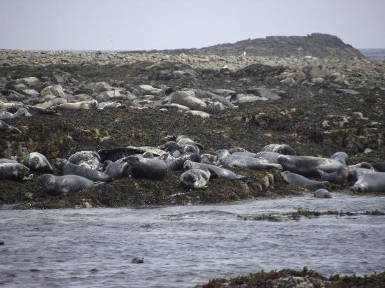Seahouses, UK: More seals