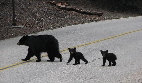 Sequoia and Kings Canyon National Park, Californië: Black Bear and twin cubs