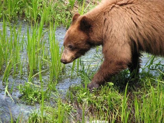 Parco nazionale di Sequoia e Kings Canyon, CA: Feeding Bear in Round Meadow
