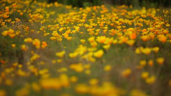San Luis Obispo, Californien: Spring Wildflowers