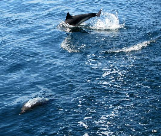 Sea Life Surveys: Another dolphin