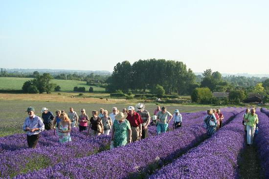 Hitchin, UK: Walking through the lavender