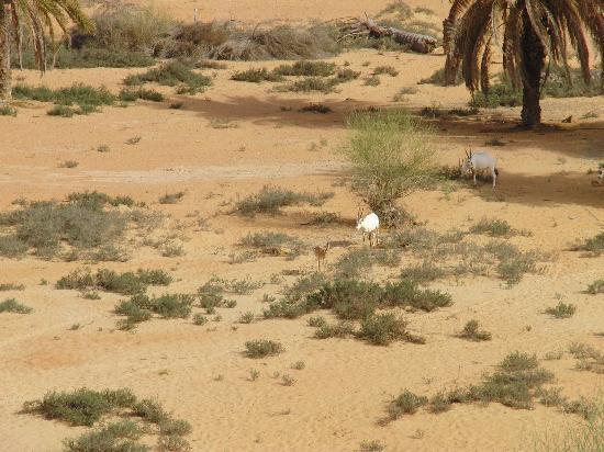 Al Maha, A Luxury Collection Desert Resort & Spa : Oryx-Antilopen am Wasserloch