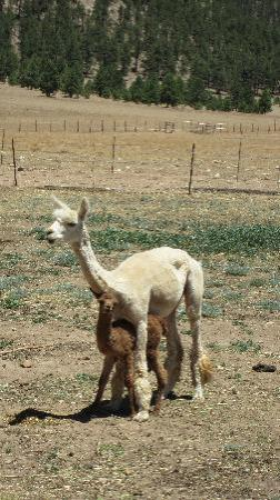 Victory Ranch: Feeding the alpaccas