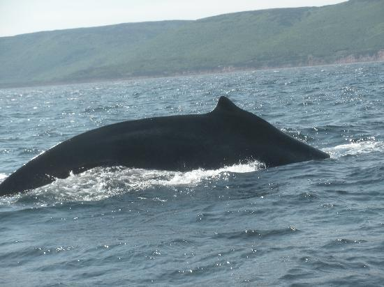 Cabot Trail Hostel: Whale at Pleasant Bay, as seen from Wesley's WhaleTours Boar