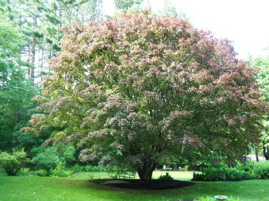 Forty Putney Road Bed and Breakfast: Beautiful Japanese Maple in back yard