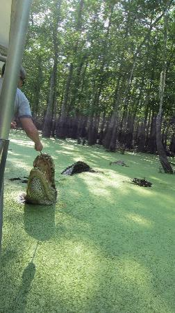 ‪‪Slidell‬, لويزيانا: Feeding a 15 foot alligator‬