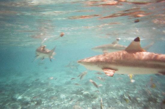 Conrad Bora Bora Nui : swim with the sharks