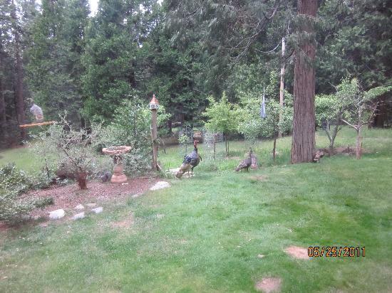 Highland House Bed & Breakfast: the turkeys