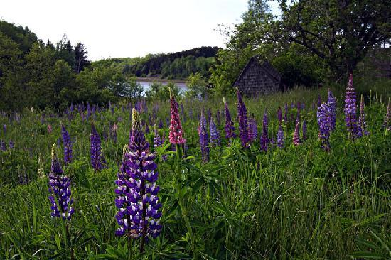 Micmac Farm Guesthouses and Gardner House: Lupine field