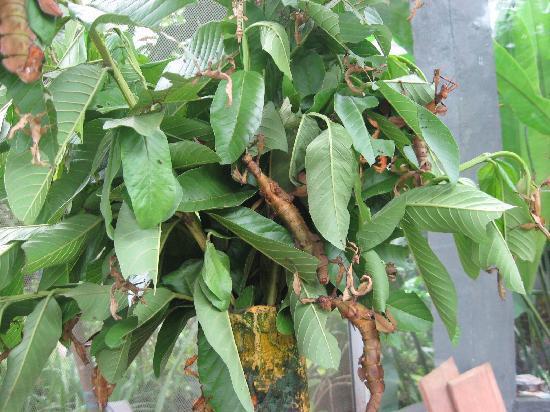 Tabanan, Indonesia: Mantises