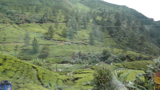 Puncak, Indonezja: tea plantations everywhere