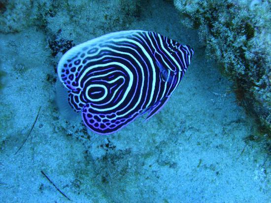 The Oberoi, Mauritius: Juvenile Emporer Angel Fish
