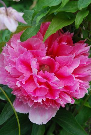 Farthings B & B: Peonie flower in the garden