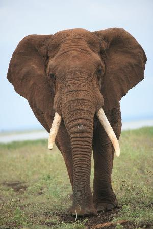White Elephant Safari Lodge: Elephant Bull