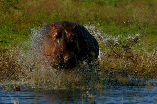 White Elephant Safari Lodge: Hippo's in Pongola River