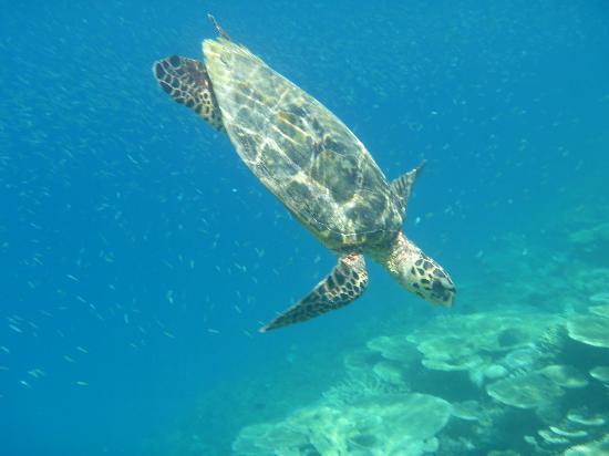 Angaga Island Resort : Wonderful Turtles.