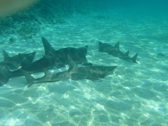 Angaga Island Resort : Guitar sharks.