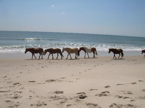 ‪‪Maryland‬: Horses strolling up the beach‬